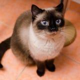Niebieskie oko figlarka Zdjęcia Stock