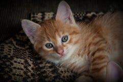 niebieskie oko kociaki czerwony Fotografia Stock