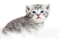 niebieskie oko kotku Obrazy Royalty Free