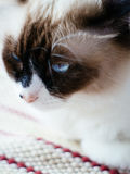 Niebieskie oko perski kot Zdjęcia Royalty Free