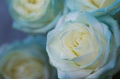 niebieskie róże Obrazy Royalty Free