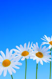 niebieskie tło daisy kwiaty Obraz Royalty Free