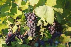 niebieskie winogron Fotografia Stock