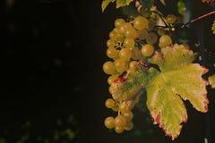 niebieskie winogron Zdjęcia Stock