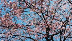 Niebieskiego nieba ang wiele menchia kwiaty Ueno, Japonia fotografia stock