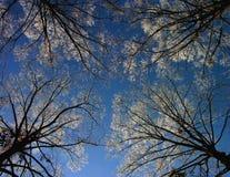 niebieskiego nieba drzewa zima Fotografia Royalty Free