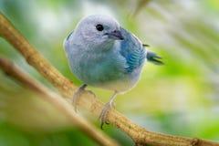 Niebieskoszary Tanager amerykański ptak śpiewający tanager rodzina, Thraupidae - Tangara episcopus średniej wielkości południe - obrazy royalty free