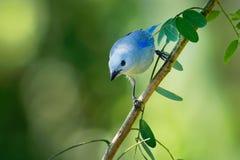 Niebieskoszary Tanager amerykański ptak śpiewający tanager rodzina, Thraupidae - Tangara episcopus średniej wielkości południe - zdjęcie stock