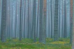 Niebla con humo en el bosque, Letonia Picea y musgo grandes 2010 Imagen de archivo