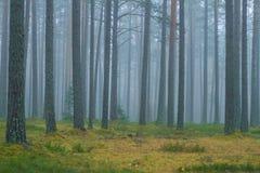 Niebla con humo en el bosque, Letonia Picea y musgo grandes 2010 Imágenes de archivo libres de regalías