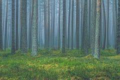 Niebla con humo en el bosque, Letonia Picea y musgo grandes 2010 Fotografía de archivo libre de regalías