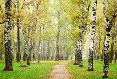 Niebla de la mañana en bosque del abedul del otoño Fotografía de archivo libre de regalías