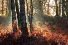Niebla de la salida del sol en el bosque Imagenes de archivo