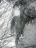 Niebla del invierno en un bosque con los árboles altos en Alemania Rocío helado en la madera durante un fin de semana frío fotos de archivo libres de regalías