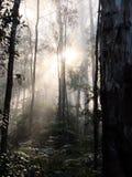 Niebla en árboles forestales Imágenes de archivo libres de regalías