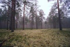 Niebla en el bosque del pino Imagen de archivo libre de regalías