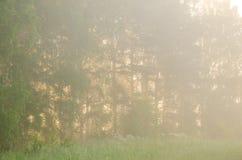 niebla gruesa de la mañana en el bosque del verano Imagenes de archivo