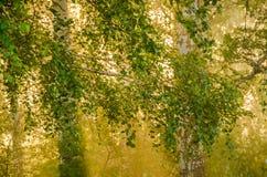 niebla gruesa de la mañana en el bosque del verano Foto de archivo libre de regalías