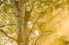 niebla gruesa de la mañana en el bosque del verano Imágenes de archivo libres de regalías