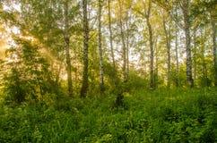 niebla gruesa de la mañana en el bosque del verano Imagen de archivo libre de regalías