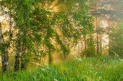 niebla gruesa de la mañana en el bosque del verano Fotos de archivo libres de regalías