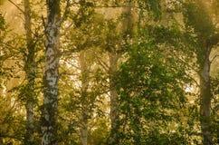 niebla gruesa de la mañana en el bosque del verano Fotos de archivo
