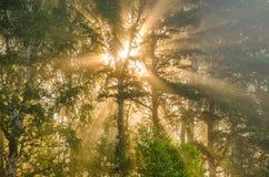 niebla gruesa de la mañana en el bosque del verano Fotografía de archivo libre de regalías
