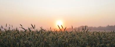 Niebla ligera fina y salida del sol sobre el campo de maíz Foto de archivo libre de regalías