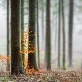 Niebla misteriosa en el bosque verde Fotografía de archivo