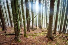 Niebla misteriosa en el bosque verde Fotos de archivo