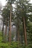 Niebla a través de árboles de pino Fotos de archivo libres de regalías