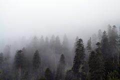 Niebla y alto bosque Imágenes de archivo libres de regalías