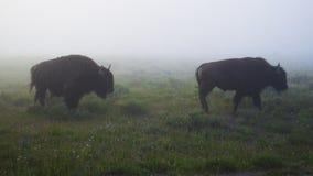 Niebla y bisonte en Yellowstone imagen de archivo libre de regalías