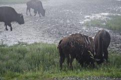 Niebla y bisonte en Yellowstone Fotos de archivo libres de regalías