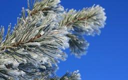 niebo błękitny sosnowa zima Obrazy Stock
