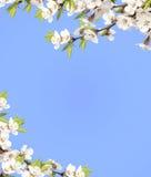 Niebo i kwiat wiśnia Zdjęcie Stock