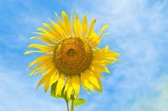 niebo jeden słonecznik Zdjęcia Stock