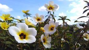 Niebo kwiat Zdjęcie Royalty Free