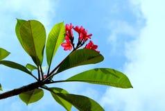 Niebo kwiat Zdjęcia Royalty Free