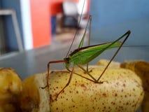 niebo makro-, insekt, pluskwa, pasikonik, amantis, modliszka, tło, zieleń, Thailand, Fotografia Stock