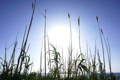Niebo, morze w królewskiego błękita kolorze i promienie duży słońce przechodzimy przez dużej trzcinowej trawy Seascape piękny tło Zdjęcie Royalty Free