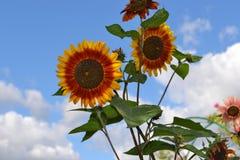 Niebo pełno słoneczniki Zdjęcie Stock