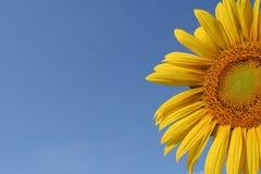 niebo słonecznik fotografia royalty free