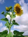 niebo słoneczniki Zdjęcia Stock