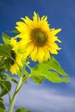 niebo słonecznik Zdjęcie Royalty Free