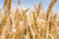 niebo wheatfield Zdjęcia Royalty Free