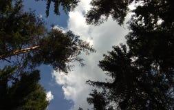 Niebo z chmurami nad sosnowym lasem obrazy royalty free