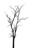 Nieboszczyk i suchy drzewo, sztuki natura Zdjęcia Royalty Free