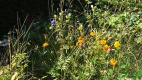 Niecka nad naturalnym, pszczoły wildflower życzliwa granica w chałupa ogródzie zdjęcie wideo