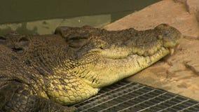 Niecka od półpostaci głowa krokodyl zdjęcie wideo